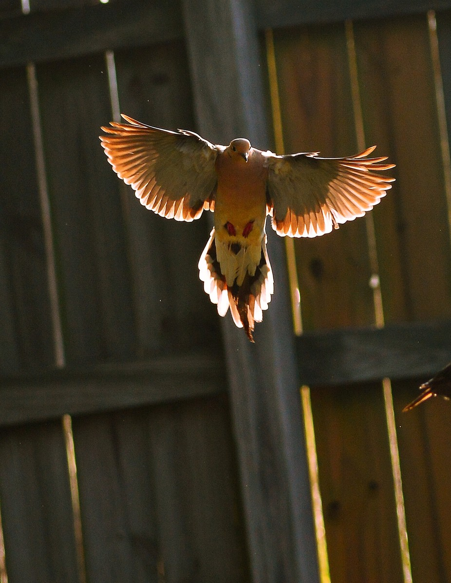 Mourning Dove landing at feeder, Took the shot early morning as sun came up add backlit the dove