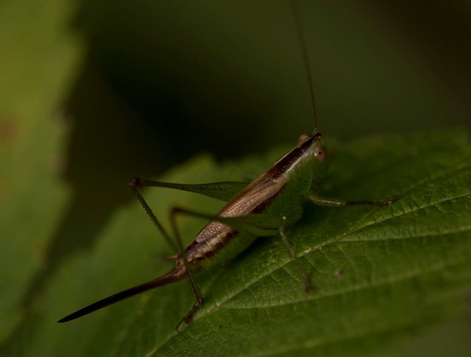 Macro Photo of a Grasshopper