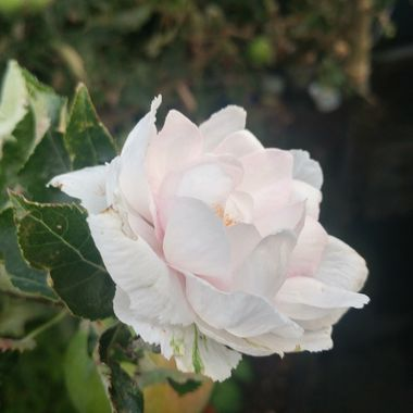 Amazing Rose-like Flower growing on a branch on our apple tree Aug 1, 2017 when apples are covering the tree, much after the much smaller blossoms ... unusual 2 see