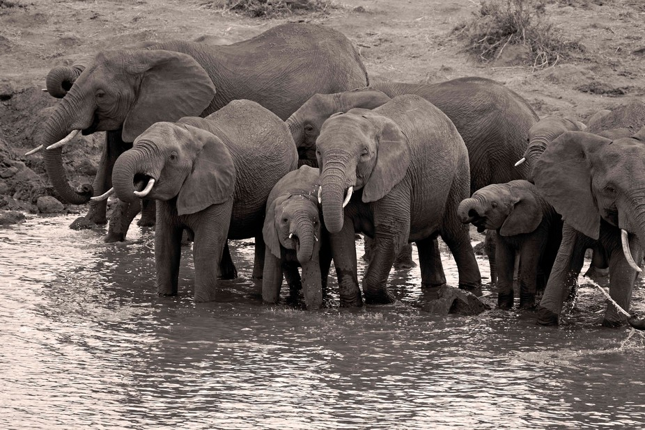 One of several breeding herds drinking along the Sabie river in the Kruger Park