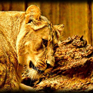 The Goddess (lioness) in her den at Münster Zoo.