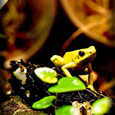 A tiny yellow tropical frog.