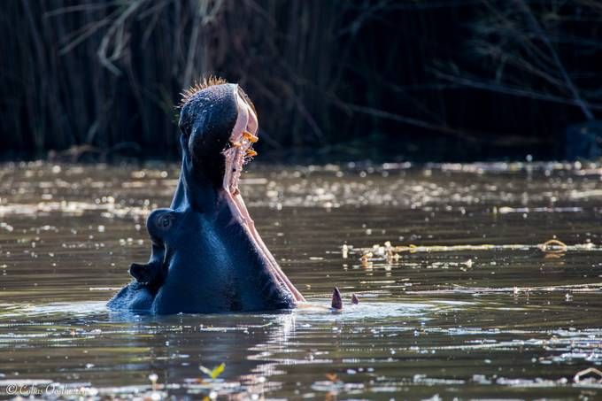 Hippo by CobusOosthuizen - Big Mammals Photo Contest