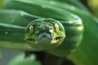 GTP / Green Tree Python