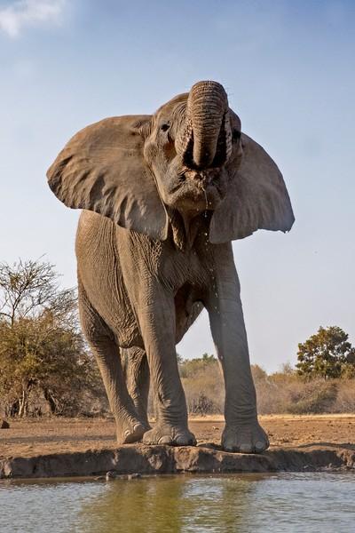 Female African Elephant at Mashatu, Botswana