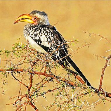 Yellow Billed Hornbill, Botswana