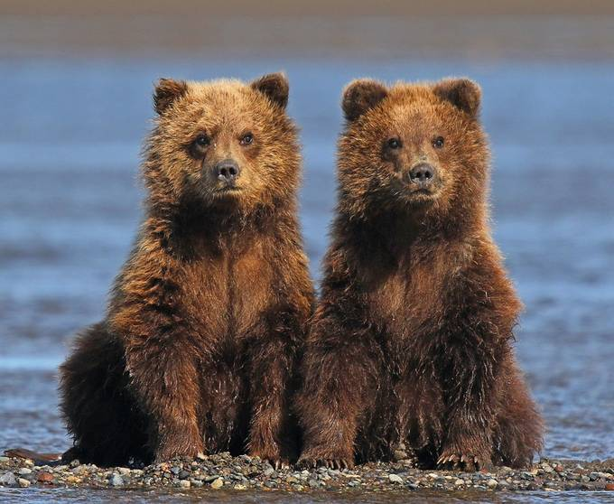 Twins ! by jozi1 - Bears Photo Contest