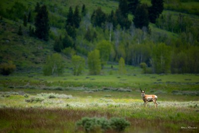Pronghorn in the Spotlight