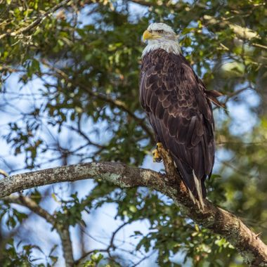 Caught on the same trip as my new camera. This is the same Eagle.