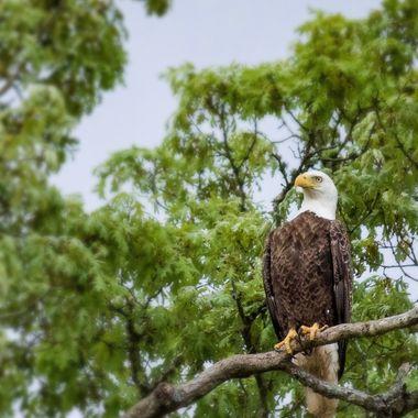 Wings-Eagle copy