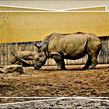 Rhino's at Münster Zoo, Germany.