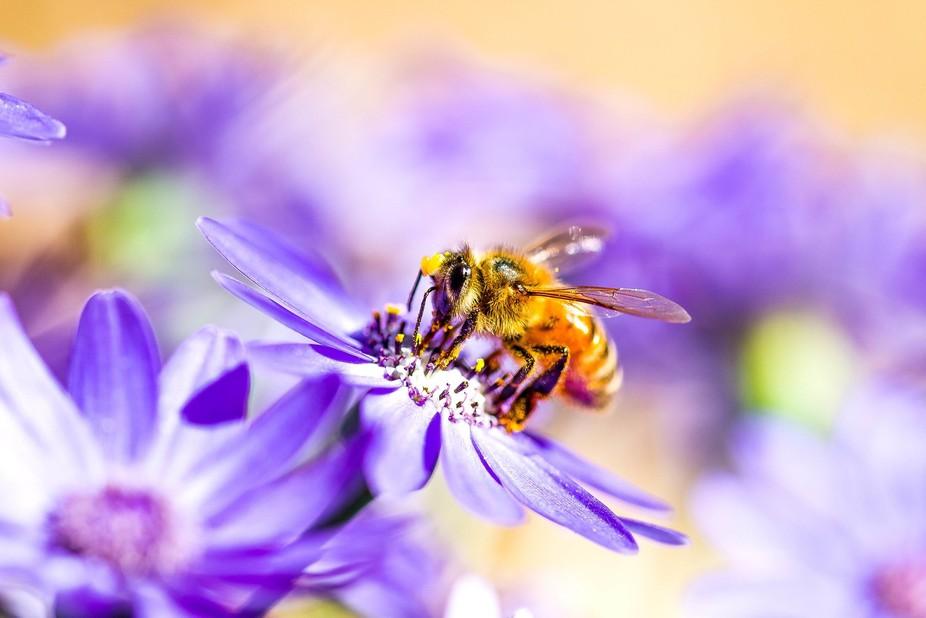Domesticated Western Honey Bee.