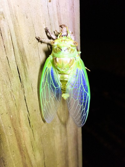 Another Cicada