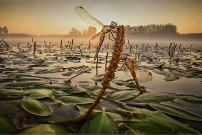 Dragonflies on the lake
