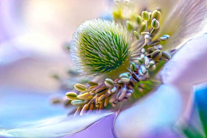 Anemone Stamens by ksean - Macro And Patterns Photo Contest