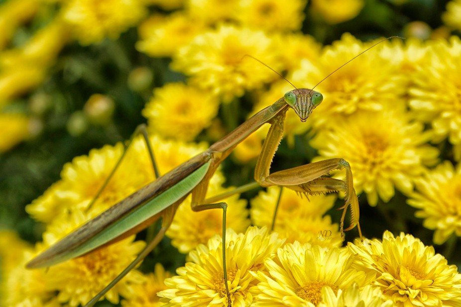 Found this little lady cruising among my Mums. Chinese Mantis. Fairly common in Illinois. They do...