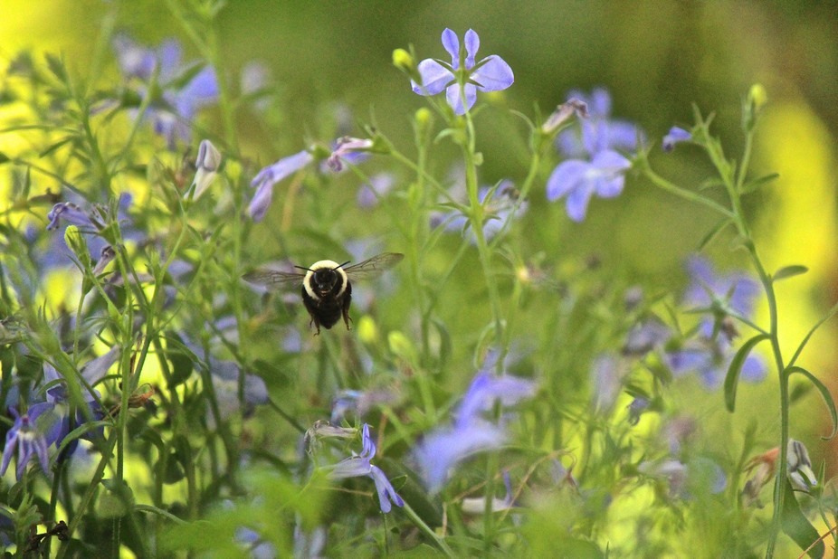 Bee Flying through the Purple Flowers