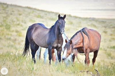 Onaqui Mountian wild horses
