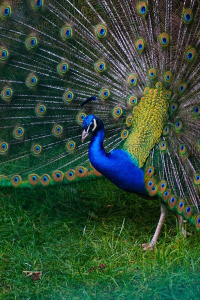 Blue peacock and its open colourful tail