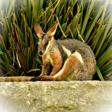 A young marsupial dozing off in the sun.