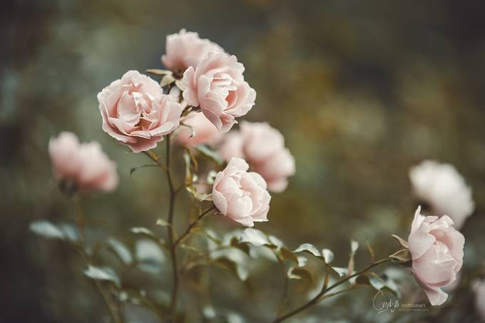 Autumn roses by cindygrundsten - Everything Bokeh Photo Contest