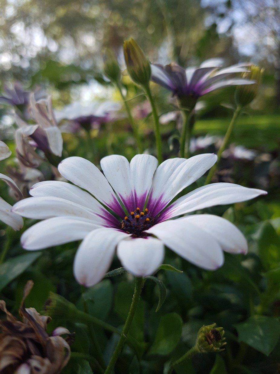 so excited about this capture of purple throat flower. It starts unfocused then focuses to then a...