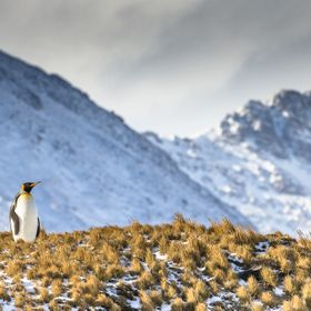 A lone King Penguin looks out over the harsh landscape it calls home.