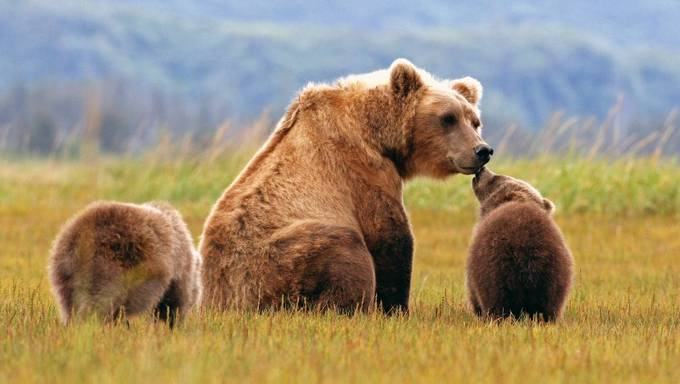 Melissa and Cubs nuzzling by Jdmccranie - Bears Photo Contest