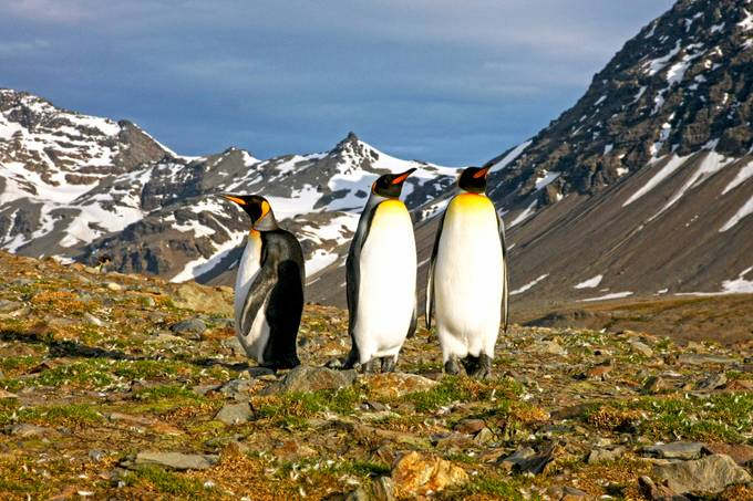 King Penguins at peak by Jdmccranie - Celebrating Nature Photo Contest Vol 4
