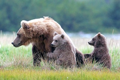 Grizzly Sow and Cubs watching approaching Male Grizzly