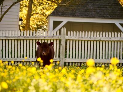 A Calf in Spring