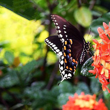 Monarch on Ixora