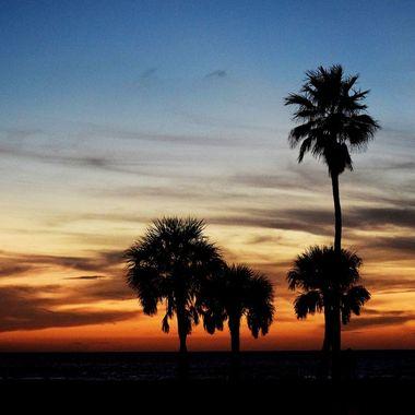 Palm at Pier 60 sundown