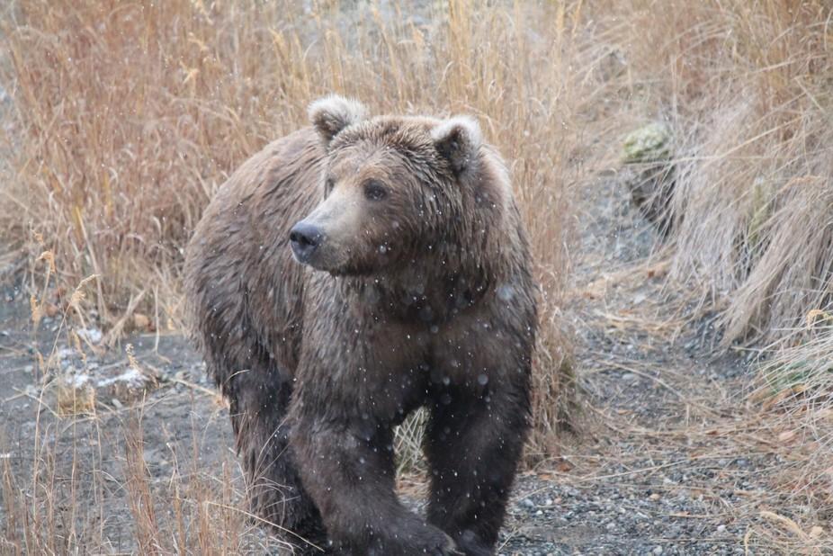 Brown Bear at Brooks Camp, Katmai National Park, Ak.