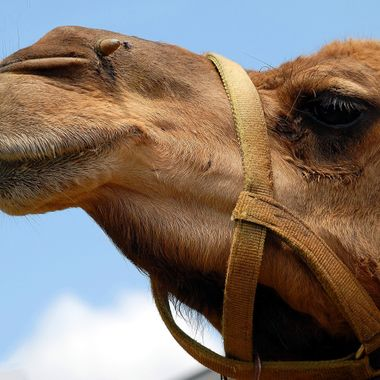 Camel at animal reserve closeup background