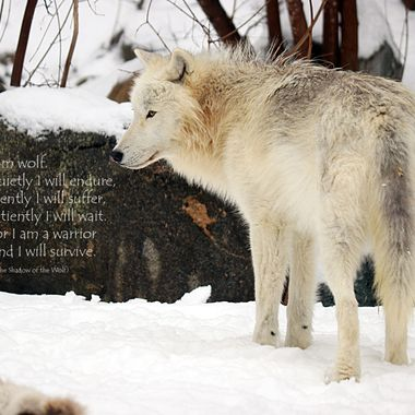 When I photograph wolves, I will frame my shot so that I can add text to it and use those images to help promote the well being and preservation of wolves.