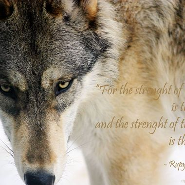 When I photograph wolves, I like to frame images so that I can add text to it post production.  My goal is to spread awareness of the importance of the wolf to a healthy ecosystem and try to dispel the myths that unjustly follow them.