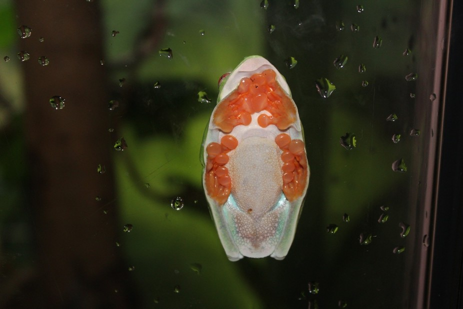 Tree frog from the other side of the glass