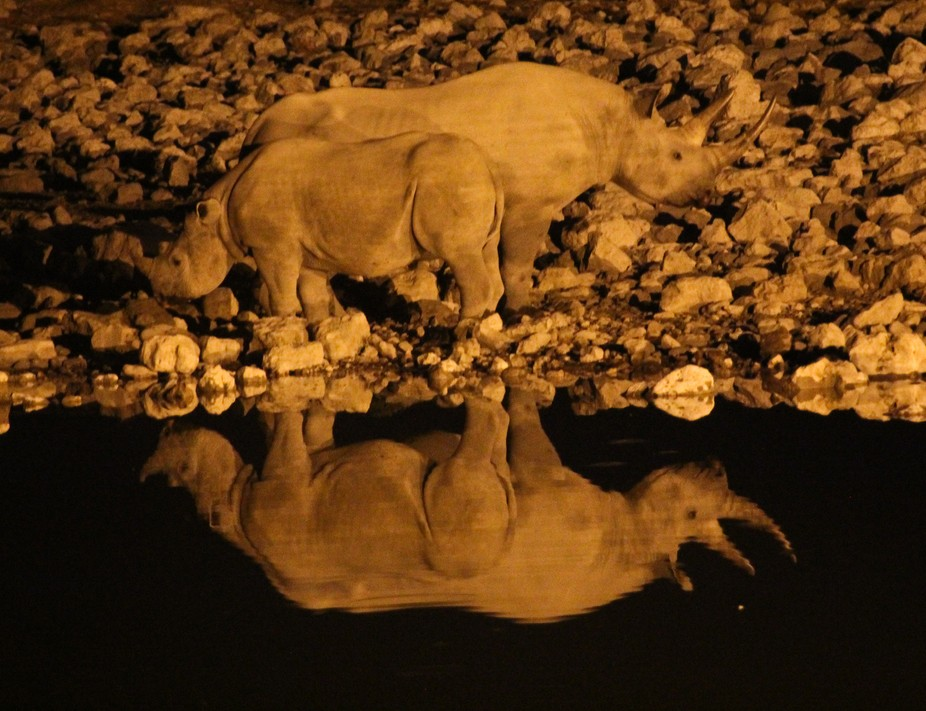 The waterhole in Okaukuejo is a brilliant place to discover the nightlife of different animals in...