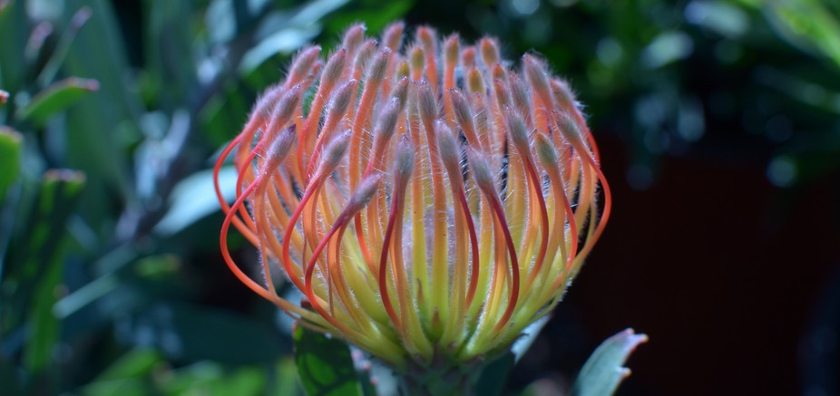 Beautiful glowing sunkissed protea flower