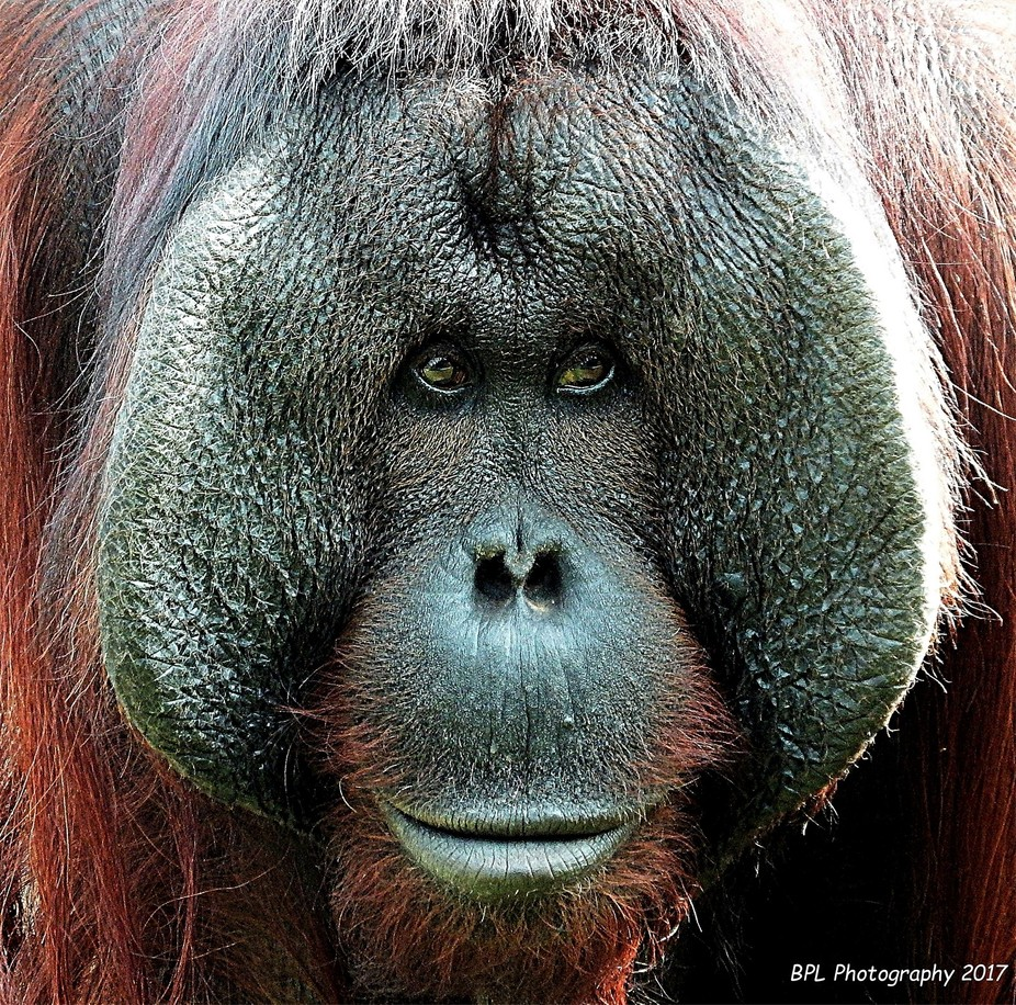 Tuan now lives happily at Monkey World Ape Rescue Centre deep in the Dorset, UK countryside. He a...