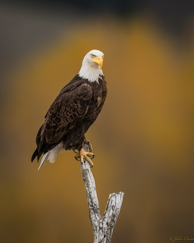 Jackson Hole Bald Eagle
