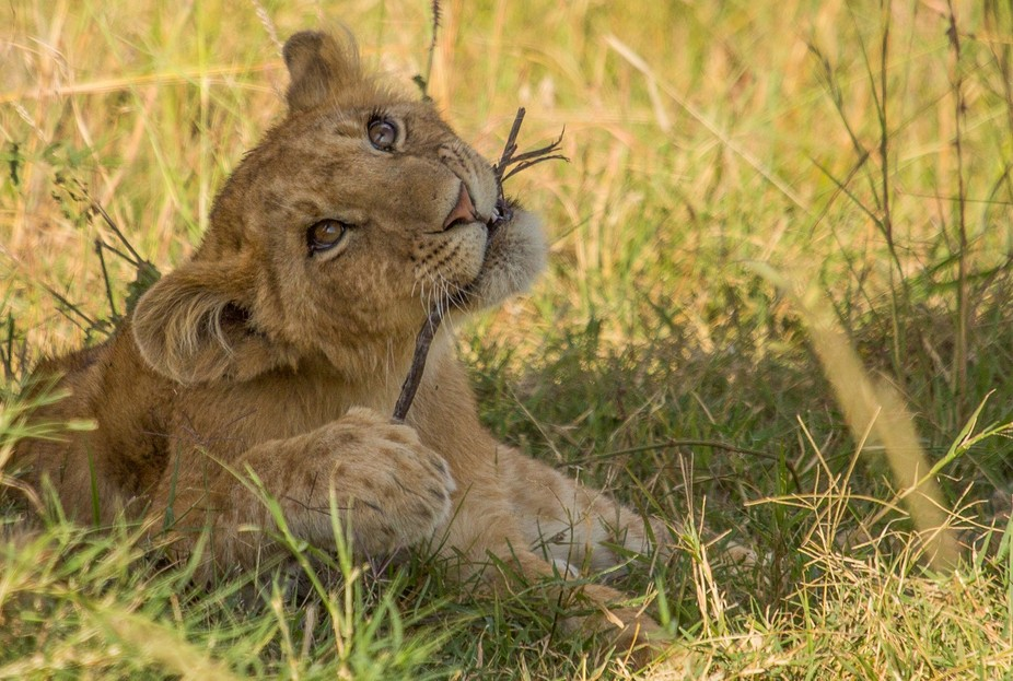 This lion cub was having a great time playing with a stick.
