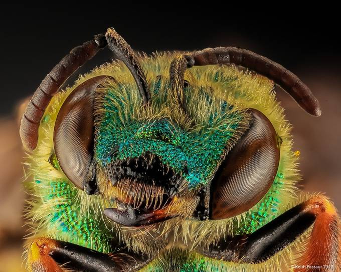 Green Bee Close up by keithpassaur - Macro Games Photo Contest