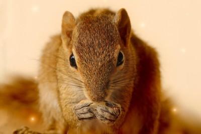 Indian Palm Squirrel in Sri Lanka