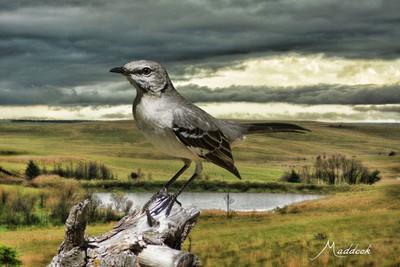 mockingbird country