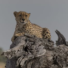 After a busy morning of leopards and wild dogs, it was a bonus to come around a corner and see this guy chilling on a photogenic log. Botswana, 2017