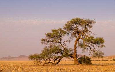 Lone tree in the Great Namib desert.