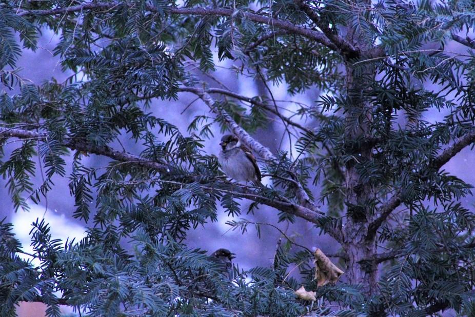 Sparrow in Winter