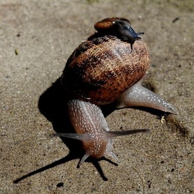 First time I have seen a snail carrying its young on its back !